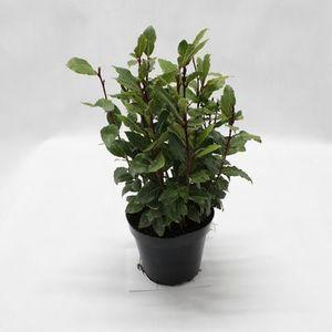 Bylinky - Bobkový list kvetináč 1