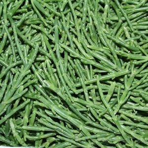Salicornia (Seacorel) 14