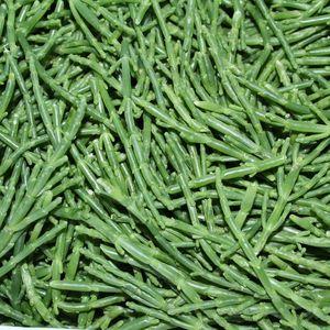 Salicornia (Seacorel) ,I.Tr 1