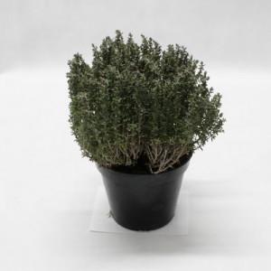Bylinky - Tymian citronový kvetináč ,I.Tr 4