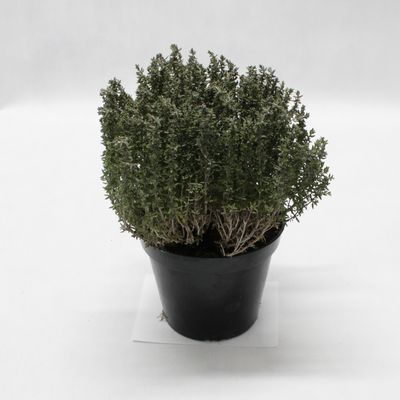Bylinky - Tymian citronový kvetináč ,I.Tr 1