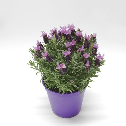 Bylinky - Levanduľa s kvetmi kvetináč 1