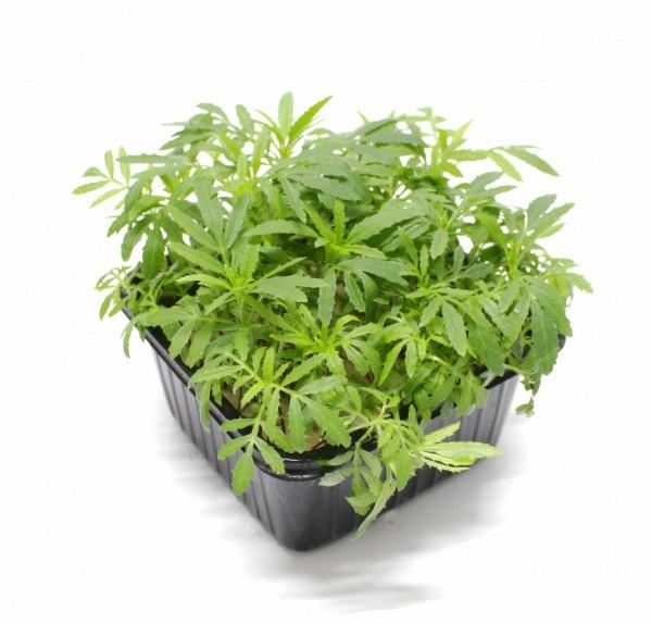 Vňať - Tagetes Mexican Marigold cress Herbeus 1