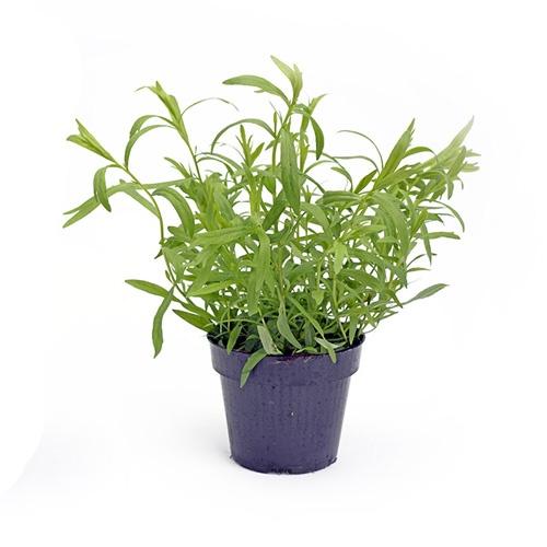 Bylinky - Estragón kvetináč ,I.Tr 1